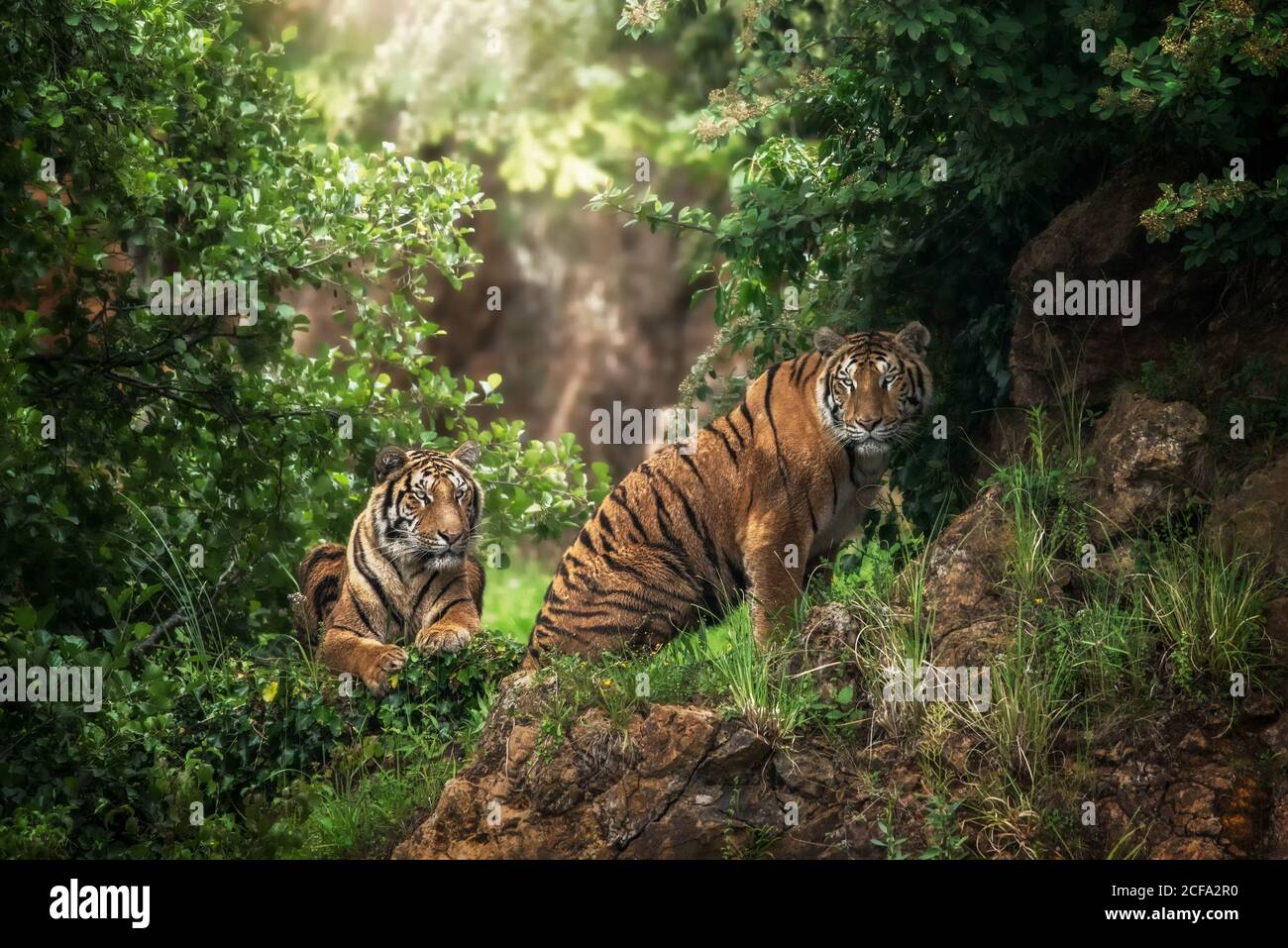 Huge tiger lying on grass near predator friend in colorful jungle near trees with small leaves in sunlight Stock Photo