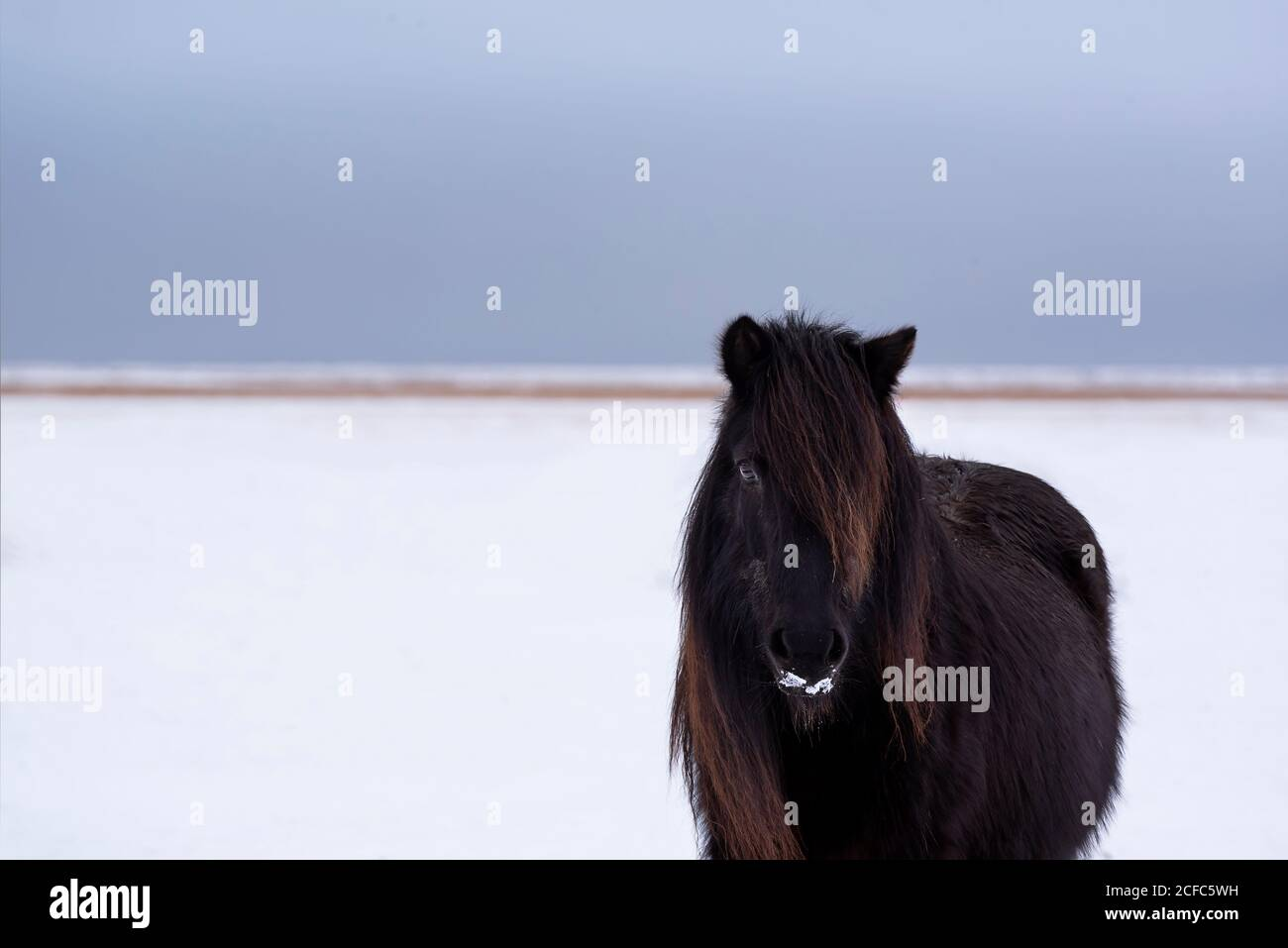Horse With Snow On His Face High Resolution Stock Photography And Images Alamy