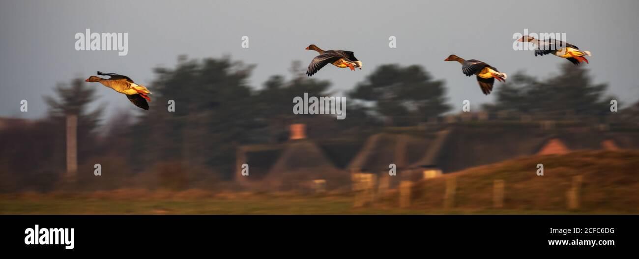 Wild geese, Kampen, Sylt Island Stock Photo