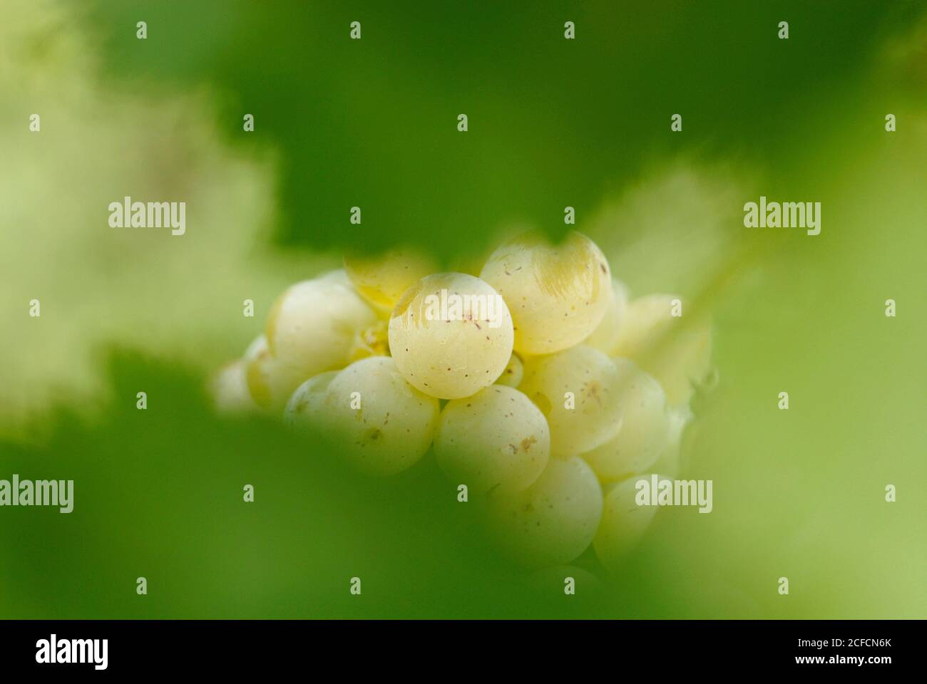 Italy, Trentino-South Tyrol, Alto Adige, Alto Adige, Terlan / Terlano, viticulture, Winkl, Weintraube Sauvignon, details Stock Photo