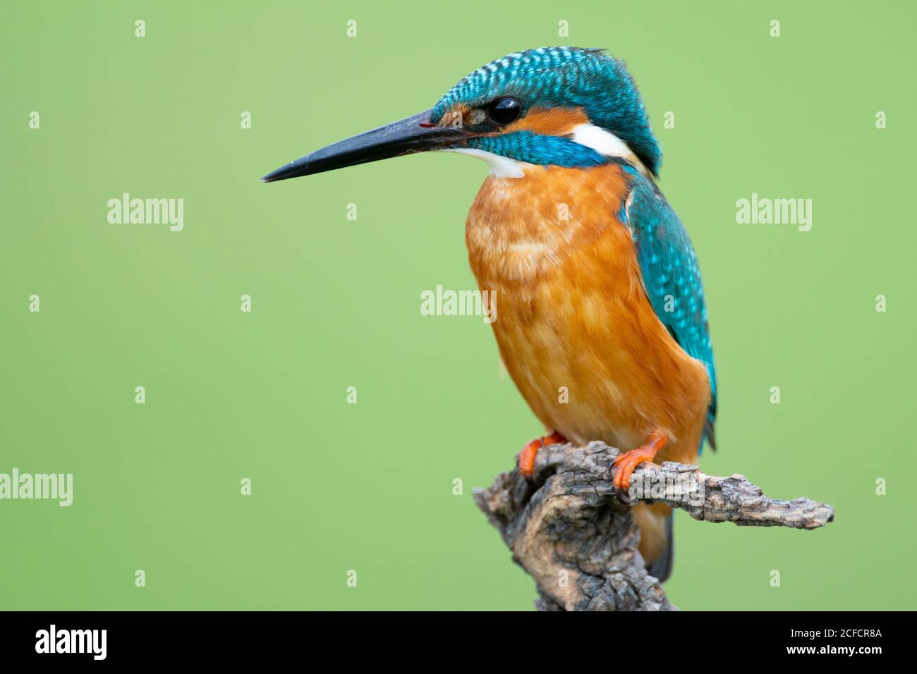 Closeup Kingfisher with orange feathers on chest and blue feathers on head and back sitting on branch isolated on green background Stock Photo
