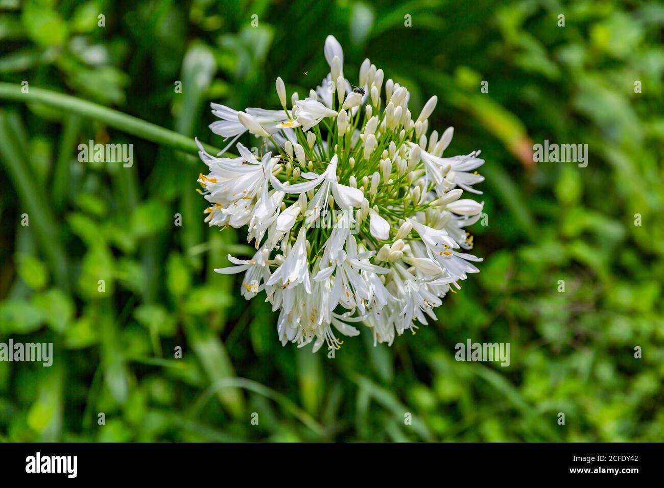 White lily, love flower (Agapanthus), viewpoint Point du Jour Hell Bourg, Cirque de Salazie volcano, Hell-Bourg, Reunion Island, France, Africa, Stock Photo