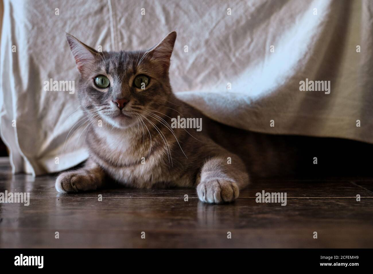Cute gray cat with mackerel stripes in hunting and playing mood with body low to wooden floor under furniture at home Stock Photo