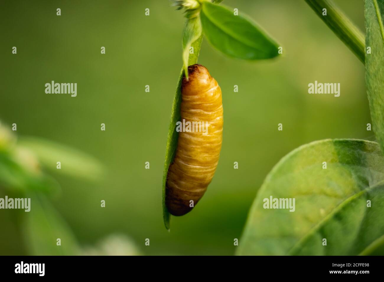 Pupa Butterfly - Big Brown butterfly pupa hanging on the edge of the green leaf in forest isolated on green Background. Pupae is a stage between cater Stock Photo