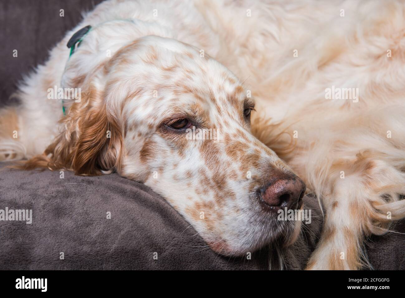 Beautiful English Setter with brown spots sleeping Stock Photo