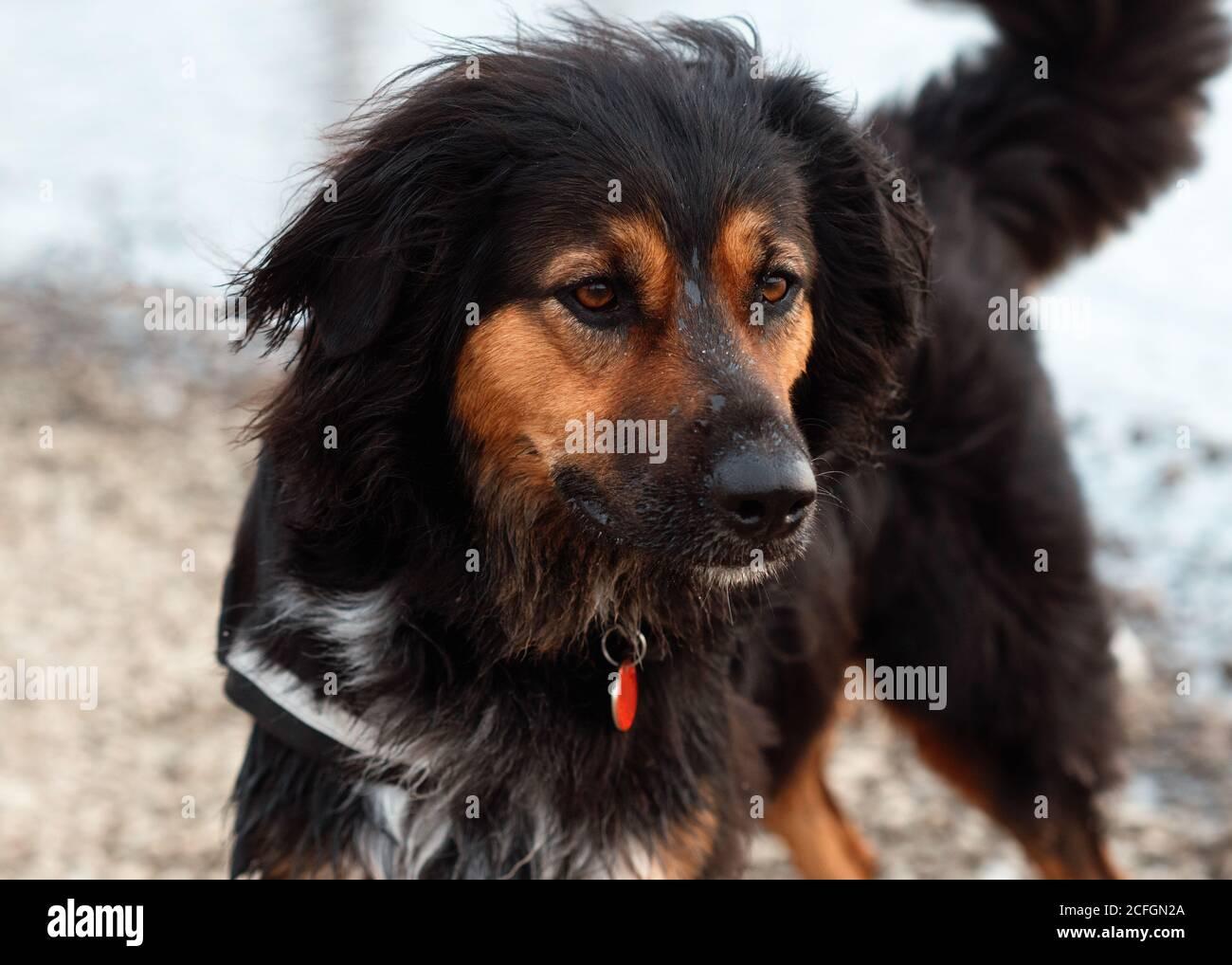 Black Hovawart sitting on the seaside Stock Photo