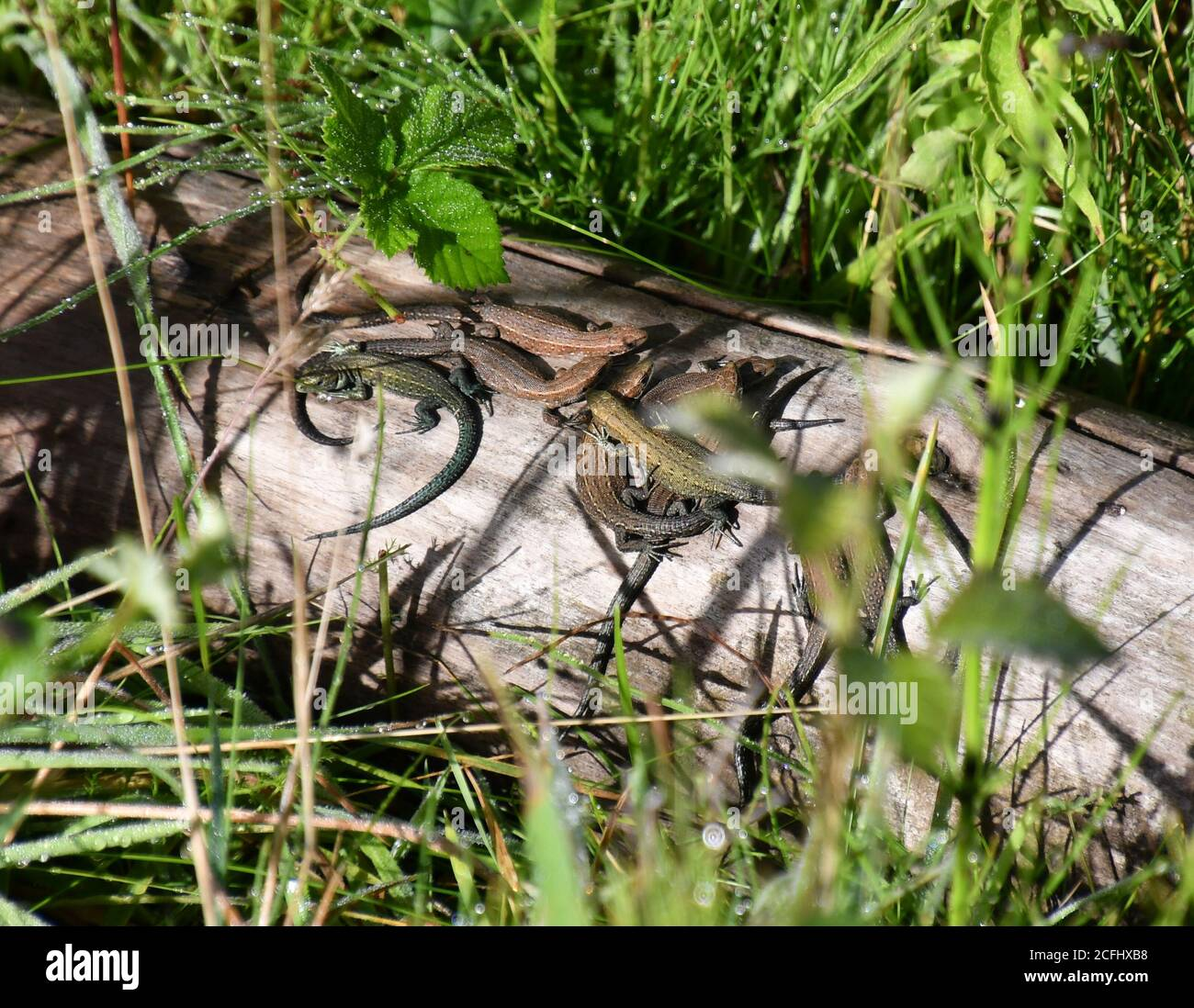 Lizards sunning themselves on a log at Lackford Lakes Nature Reserve, Suffolk, UK Stock Photo