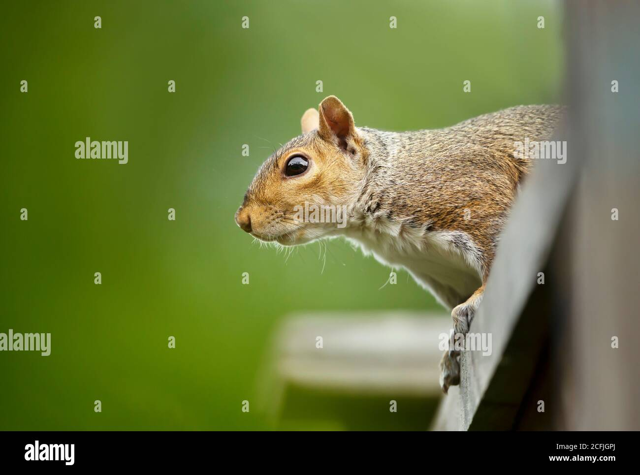 Close up of a grey squirrel sitting on a wooden fence, UK. Stock Photo