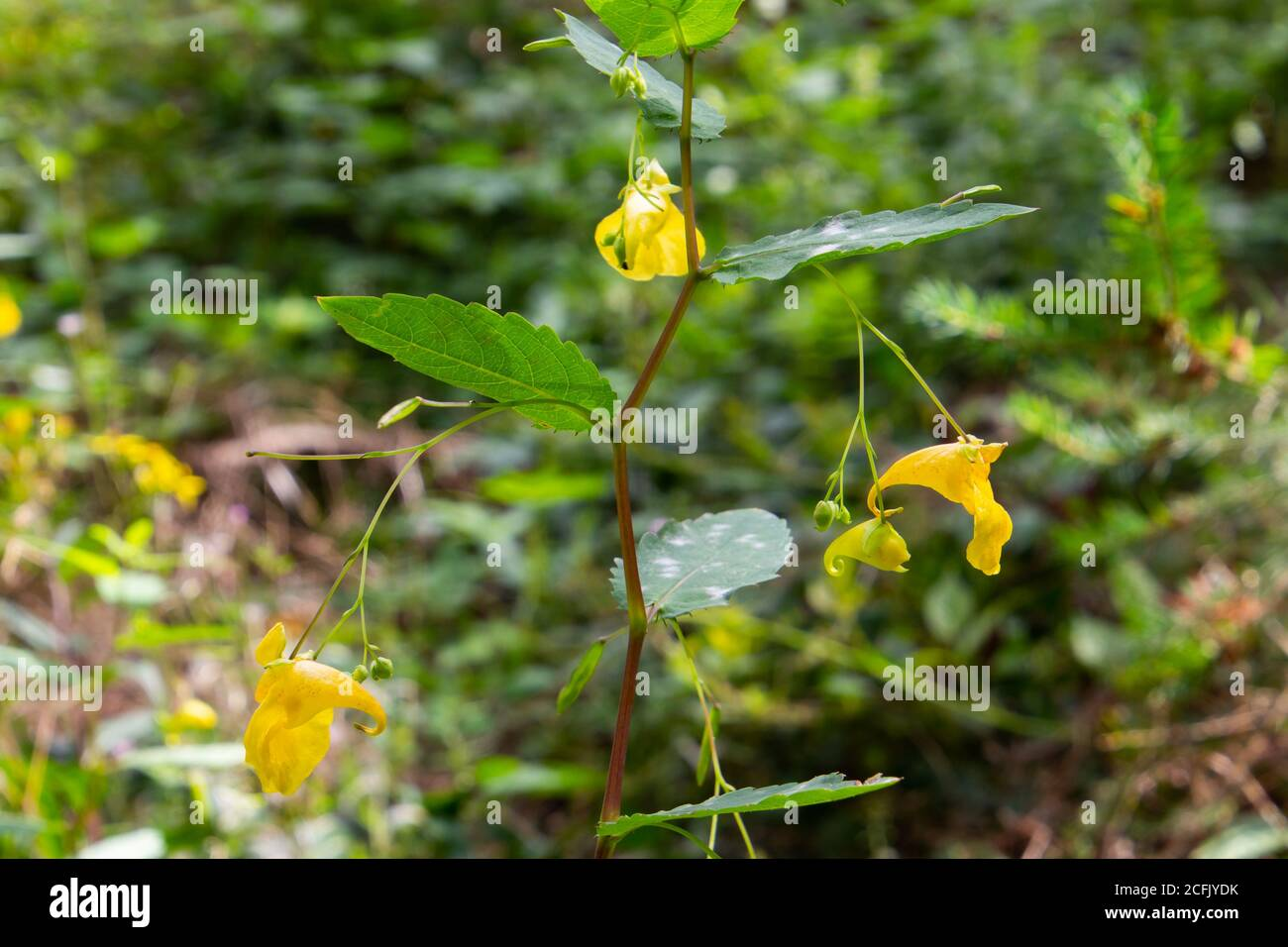 Touch me not Balsam growing in the forest, also called Impatiens noli tangere or Grosses Springkraut Stock Photo