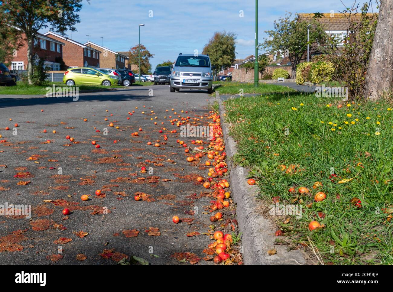 Fruit from Crab Apple (crabapple) tree (Malus sylvestris) fallen from tree & squashed in road in Autumn in West Sussex, England, UK. Crab apples. Stock Photo