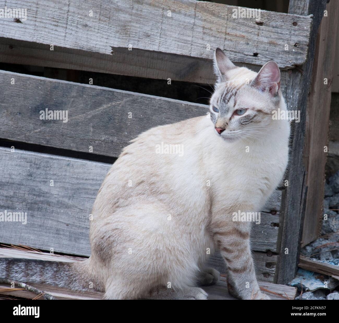 Blue Cream Tabby High Resolution Stock Photography And Images Alamy