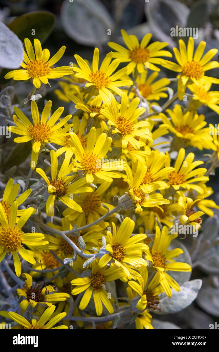 Brachyglottis greyi, also called Senecio greyi, with the common name daisy bush has bright yellow flowers. Stock Photo