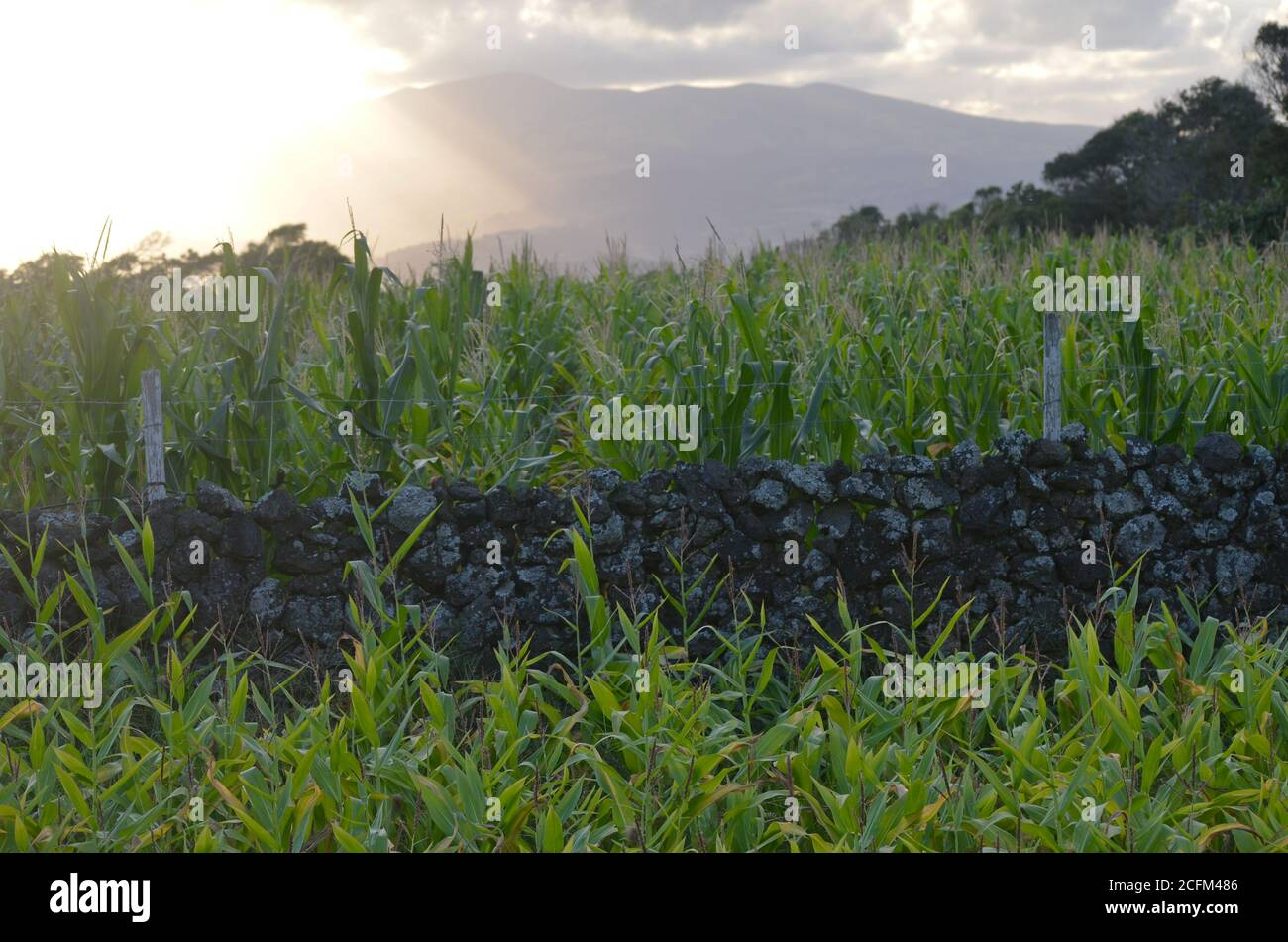 Small-scale maize production in the island of Pico, Azores archipelago, Portugal Stock Photo