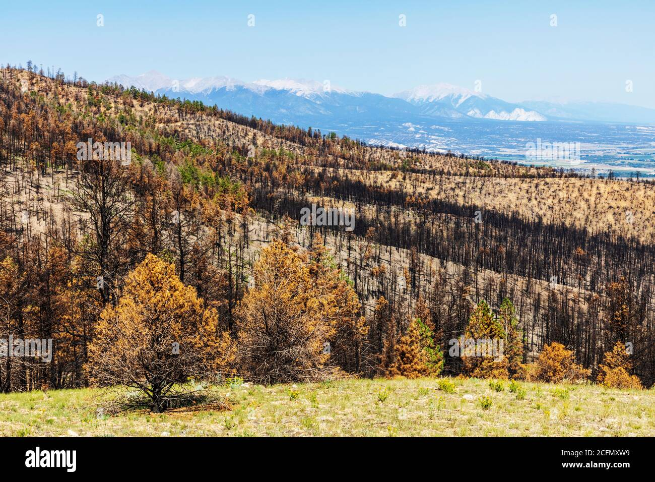 Scarred & damaged forest after the Decker Fire; Rocky Mountains, Central Colorado, USA Stock Photo