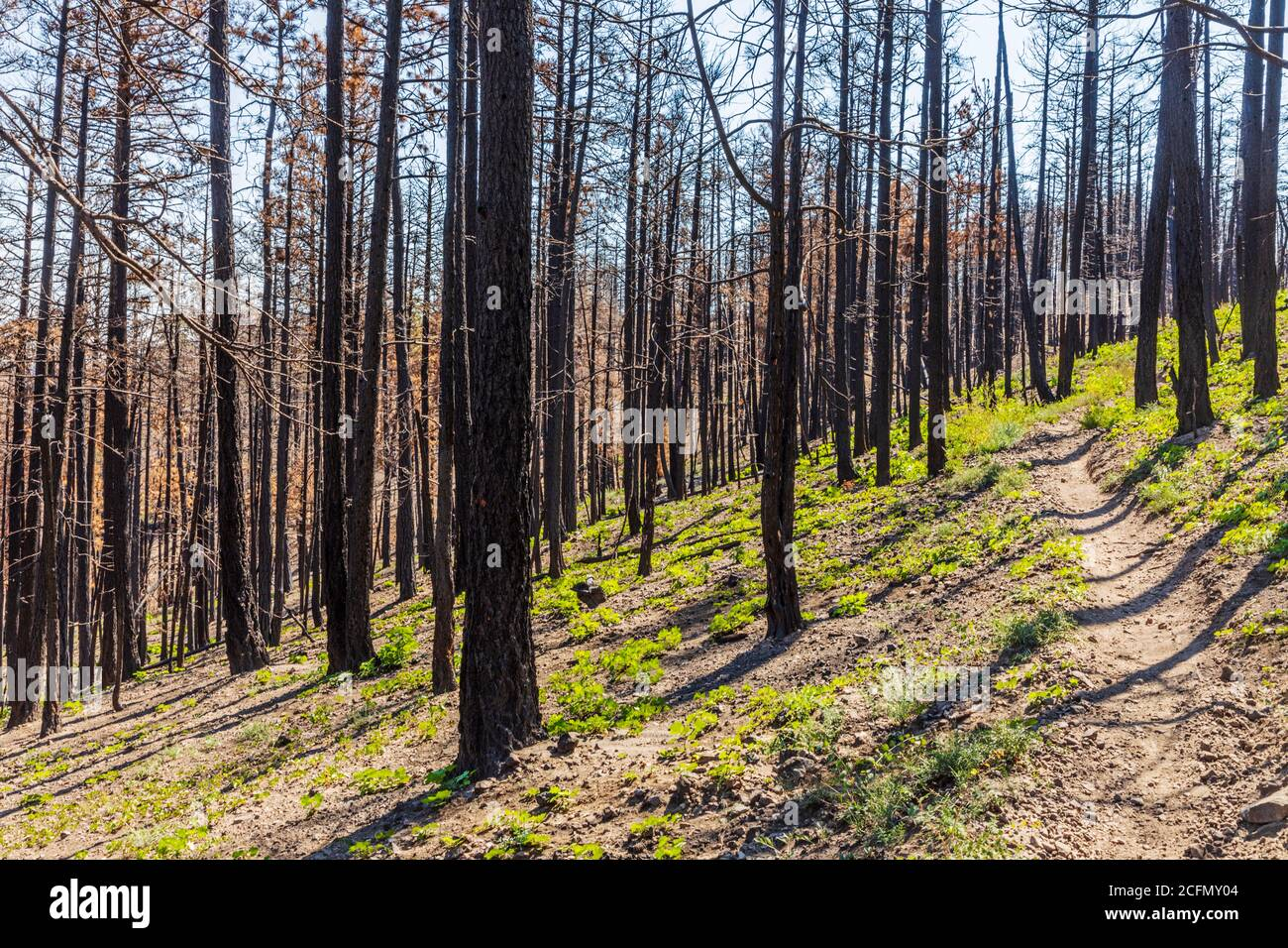 Regeneration of trees & plants that burned in forest fire; Rocky Mountains, Central Colorado, USA Stock Photo