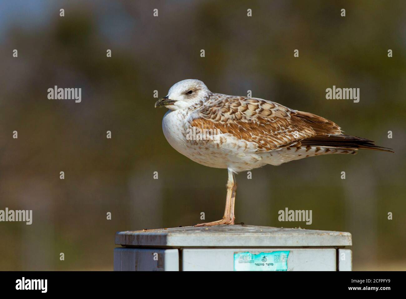 Armenian gull (Larus armenicus), immature perching on a junction box, side view, Israel Stock Photo