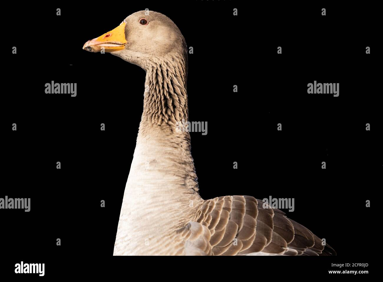 Greylag Goose with a long neck and light brown and black feathers, York, North Yorkshire, England, UK. Stock Photo