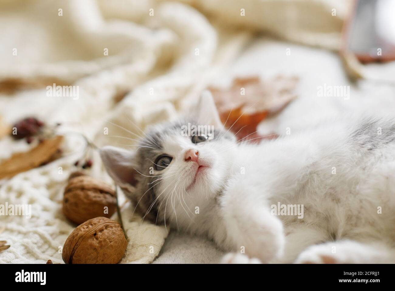 Adorable kitten playing with autumn leaves and acorns on soft blanket. Autumn cozy mood. Cute white and grey kitty playing with fall decorations on be Stock Photo
