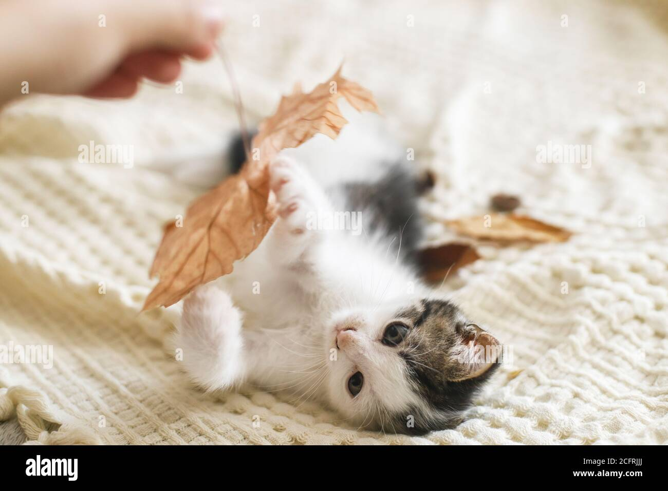 Adorable kitten playing with autumn leaves on soft blanket. Hand holding fall leaf and playing with cute white and grey kitty on bed in room. Autumn c Stock Photo