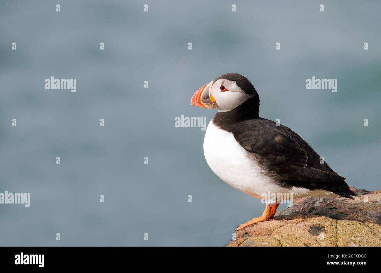 Isolated Puffin sitting on a rock on Farne Island, Northumberland, England with a natural seascape background. Stock Photo