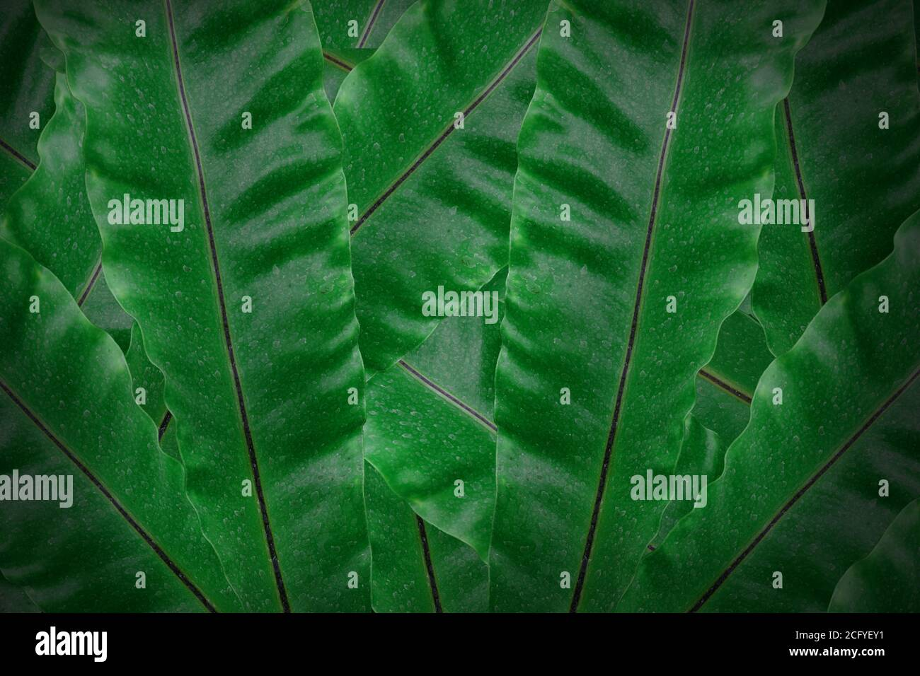 Tropical Green Leaves Background Dark Green Leaf Textured Concept Nature For Design Or Wallpaper Stock Photo Alamy Rainforest tropical green leaves wallpaper wall murals, tropical palm leaves green tropical plants wall murals wallpaper for home decor. https www alamy com tropical green leaves background dark green leaf textured concept nature for design or wallpaper image371242005 html