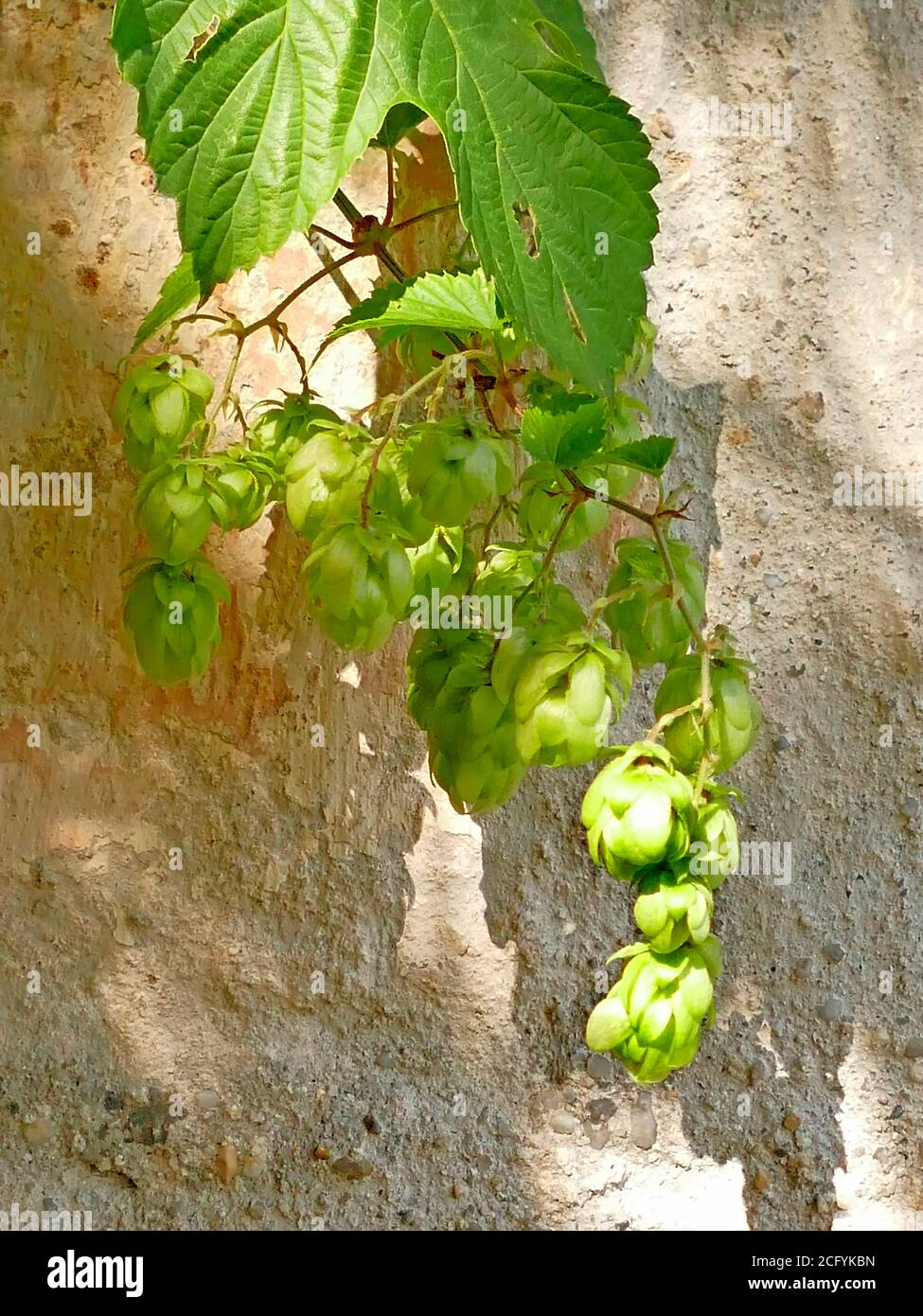 hops with ripe cones in summer Stock Photo