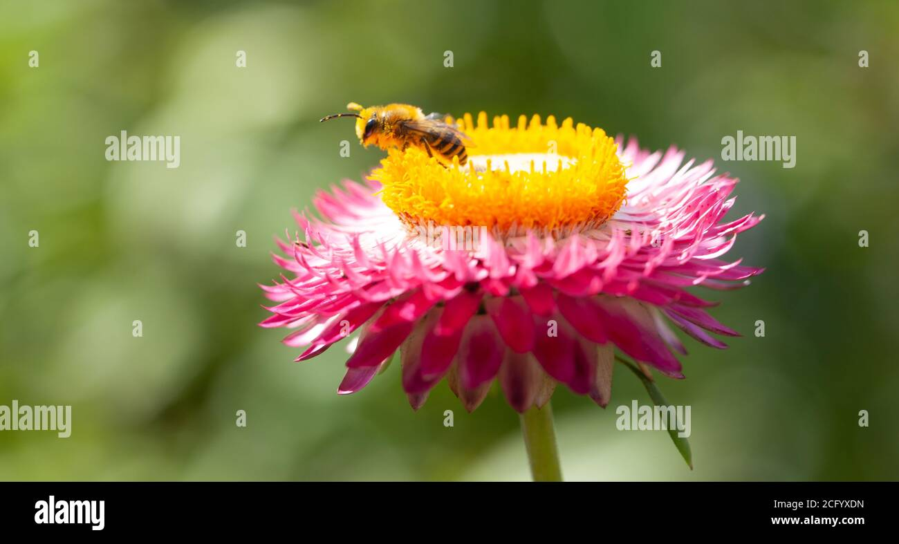 Natural World Beauty concept - High resolution close-up of a honeybee foraging on top of a mixed deep pink and yellow-centred strawflower head Stock Photo