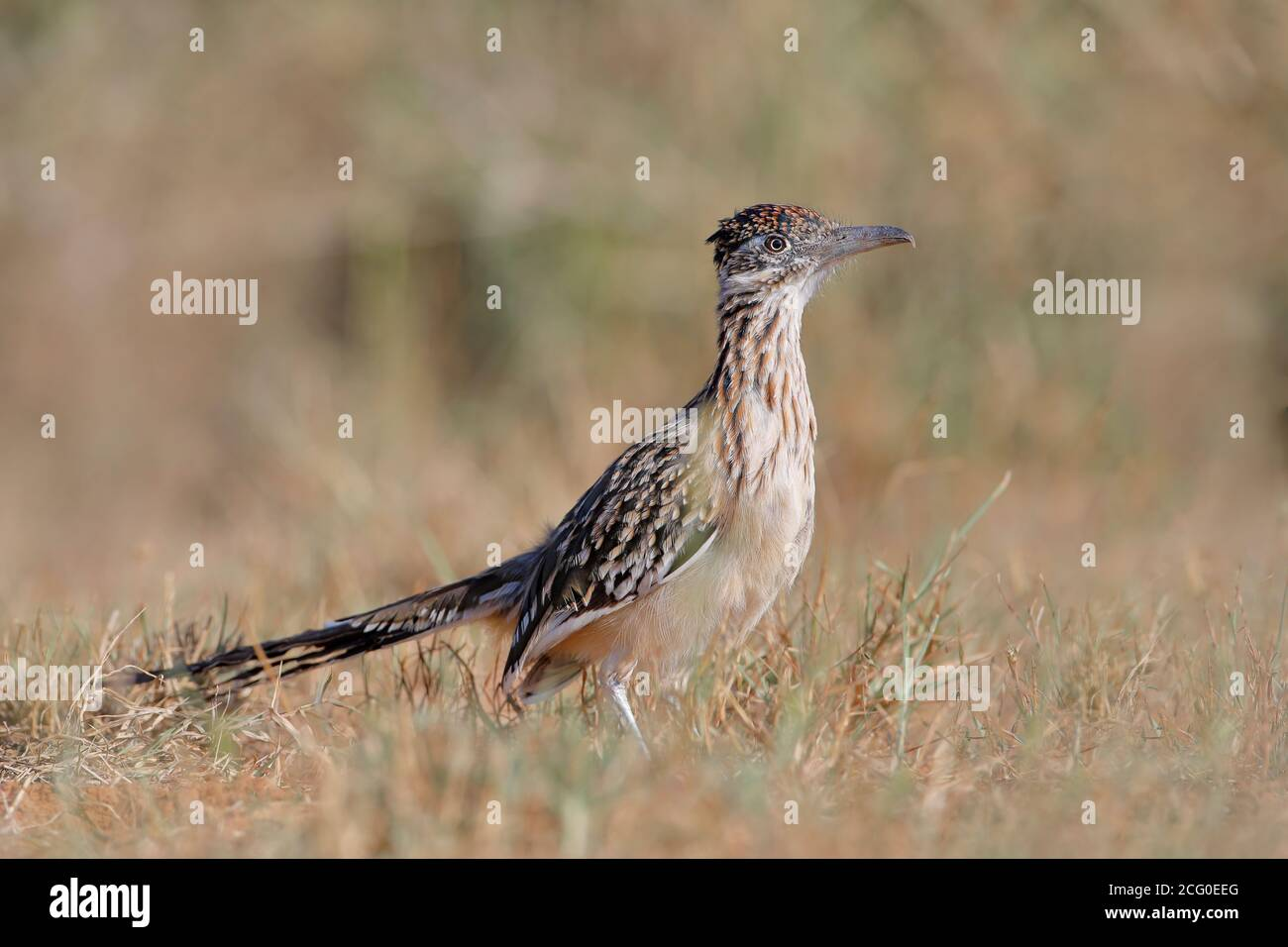 Greater Roadrunner (Geococcyx californianus), South Texas, USA Stock Photo