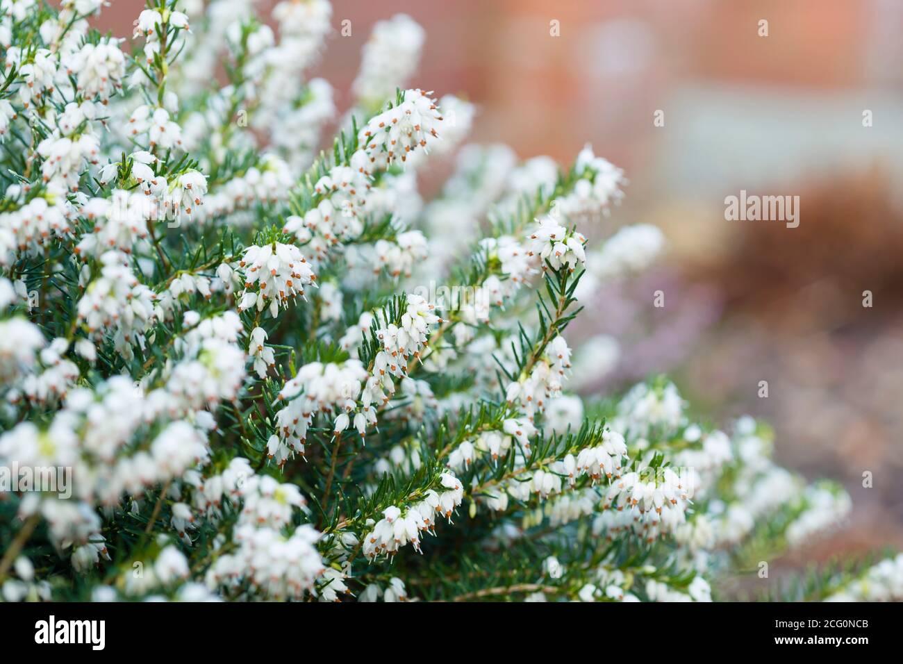 Winter heather plant closeup, White Perfection, erica x darleyenis in a garden border, UK Stock Photo