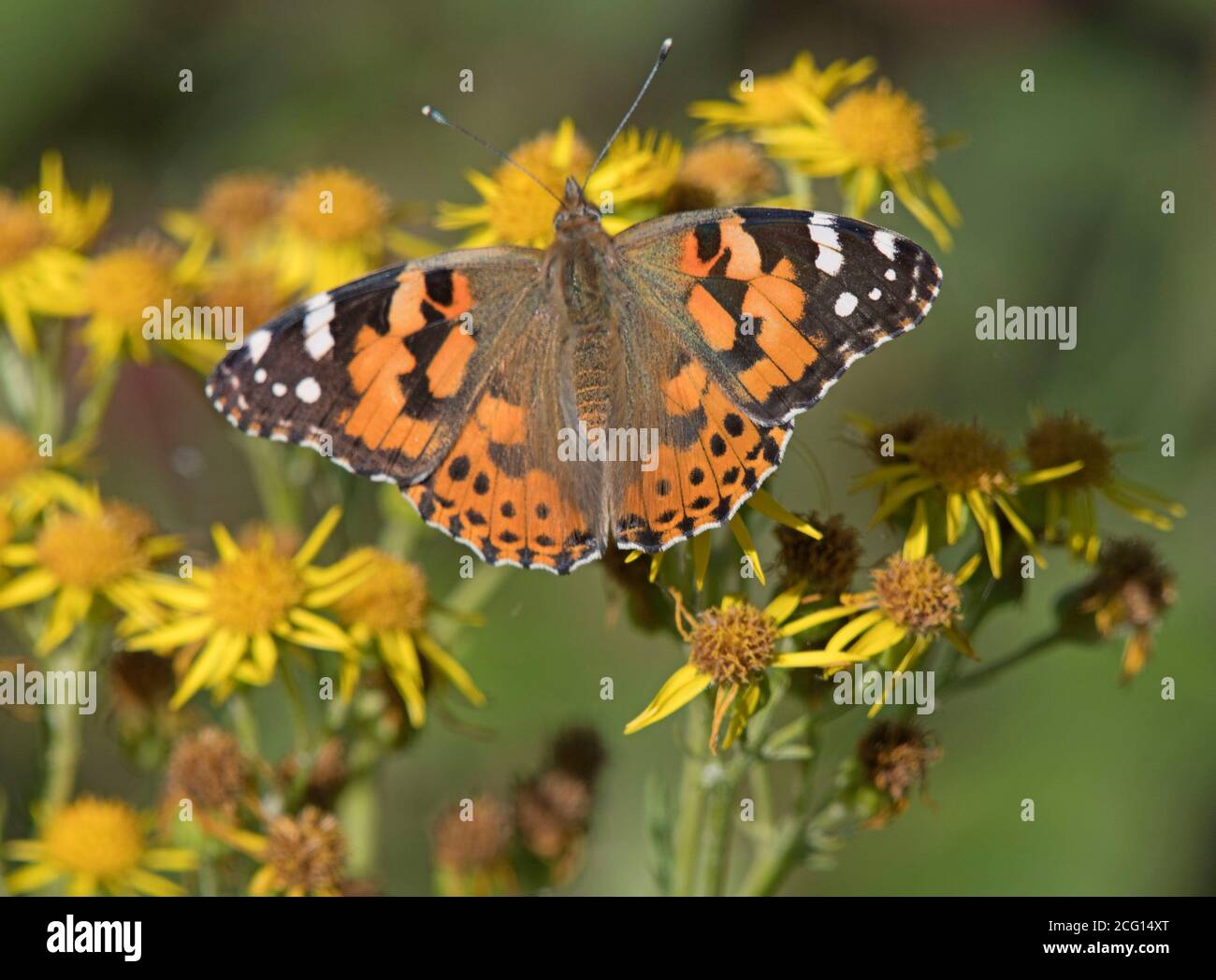 Butterfly, Painted, Lady Stock Photo