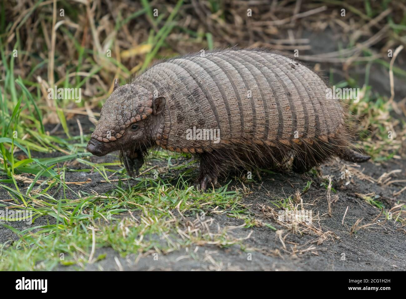 The Big Hairy Armadillo, Chaetophractus villosus, is the largest and most numerous of the armadillo species in South America.  Torres del Paine Nation Stock Photo
