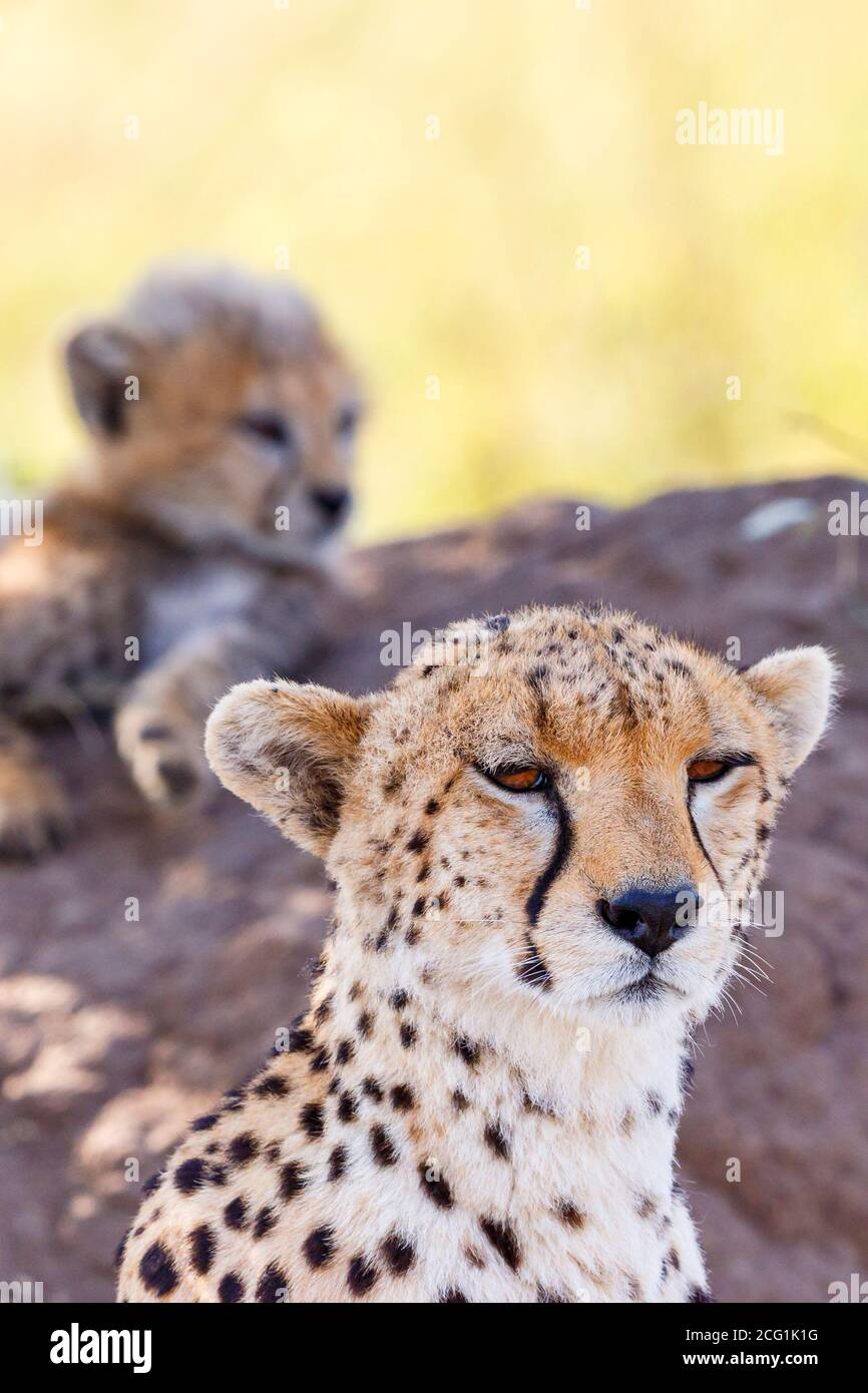 Cheetah mother with one cub rest in the shade Stock Photo