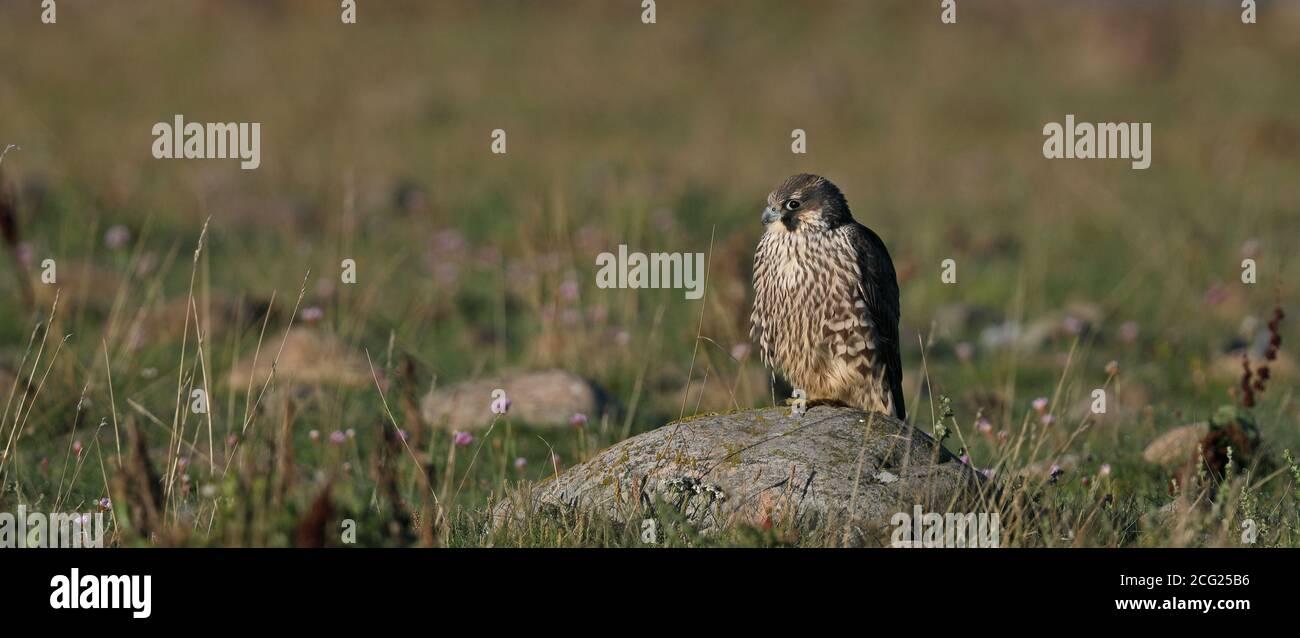 Young Peregrine falcon (Falco peregrinus) resting on rock Stock Photo