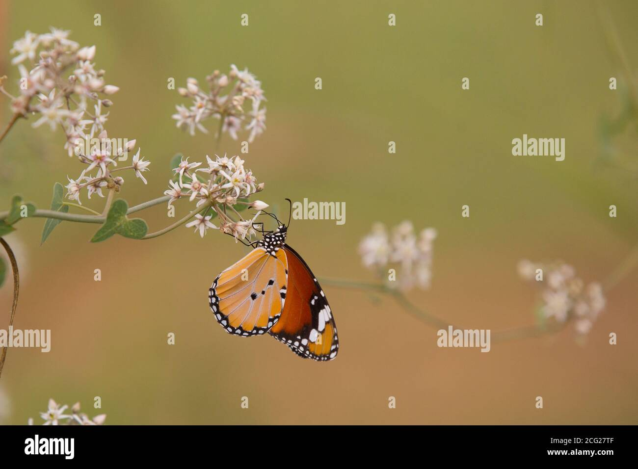 Plain Tiger (Danaus chrysippus) AKA African Monarch Butterfly on a flower Photographed in Israel, in July Stock Photo