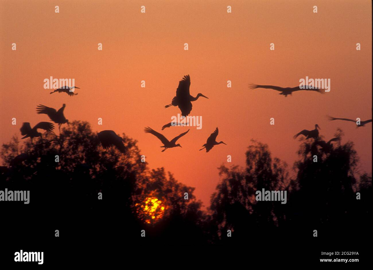 a flock of White storks (Ciconia ciconia) flying over treetops at sunset. The white stork is found in parts of Europe and southwestern Asia, and is a Stock Photo