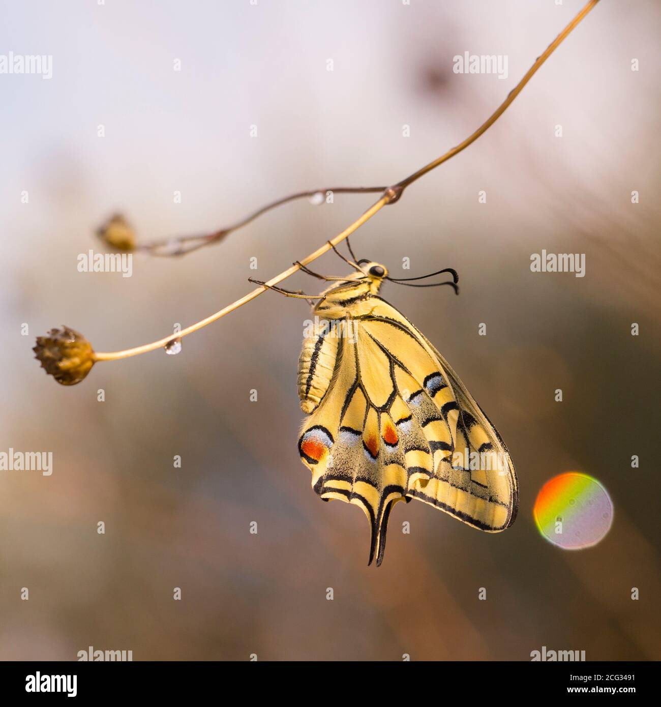 Old World Swallowtail (Papilio machaon) AKA Common yellow swallowtail Butterfly on a flower. This species, is native to Europe and Asia. Photographed Stock Photo
