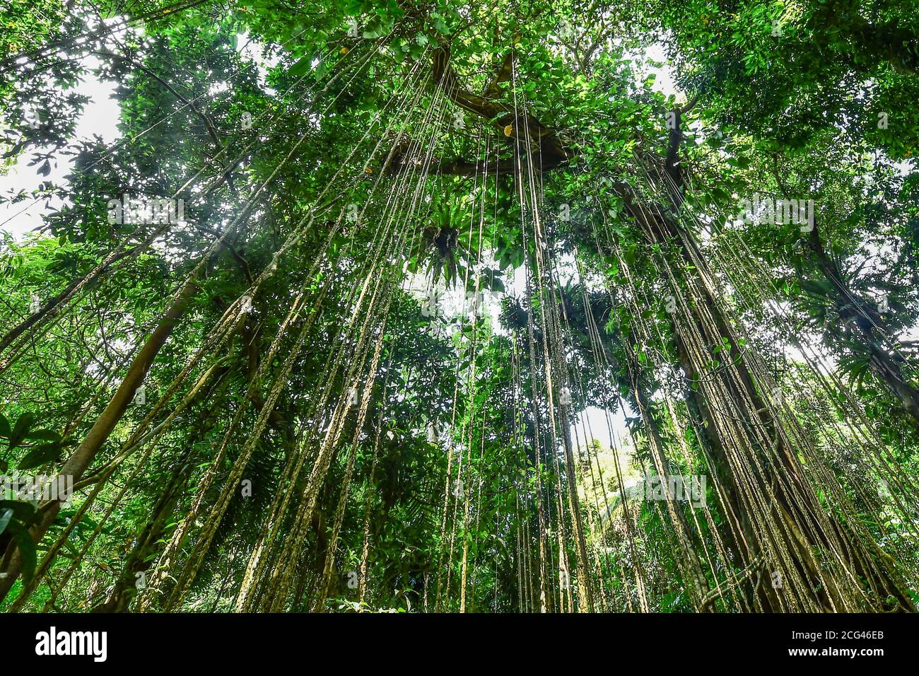 Haikou. 2nd Sep, 2020. Photo taken on Sept. 2, 2020 shows aerial roots in a tropical  rainforest in south China's Hainan Province. Credit: Pu Xiaoxu/Xinhua/Alamy  Live News Stock Photo - Alamy