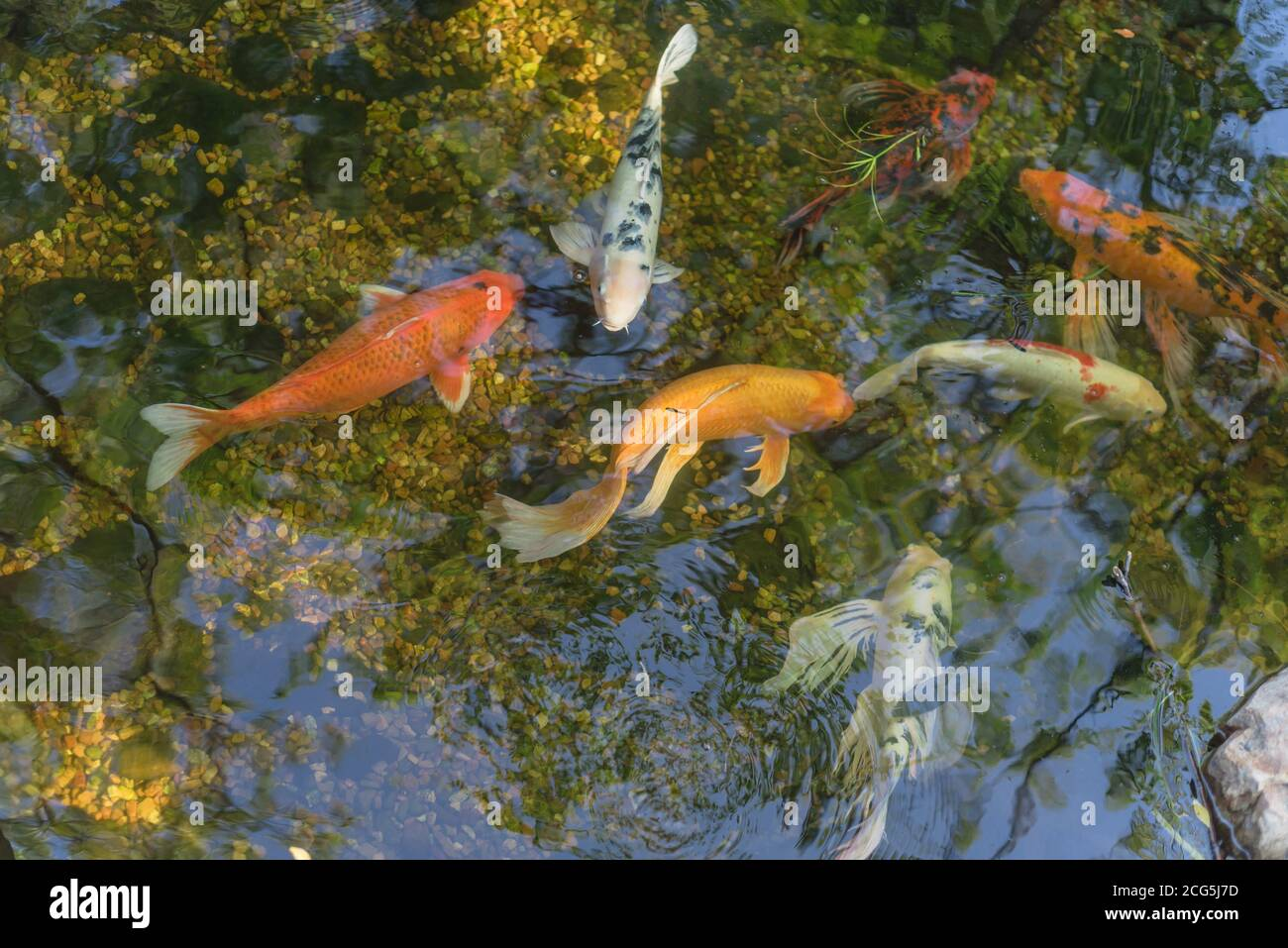 Mixed color beautiful koi fishes swimming at clear pond in botanic garden near Dallas, Texas, USA Stock Photo