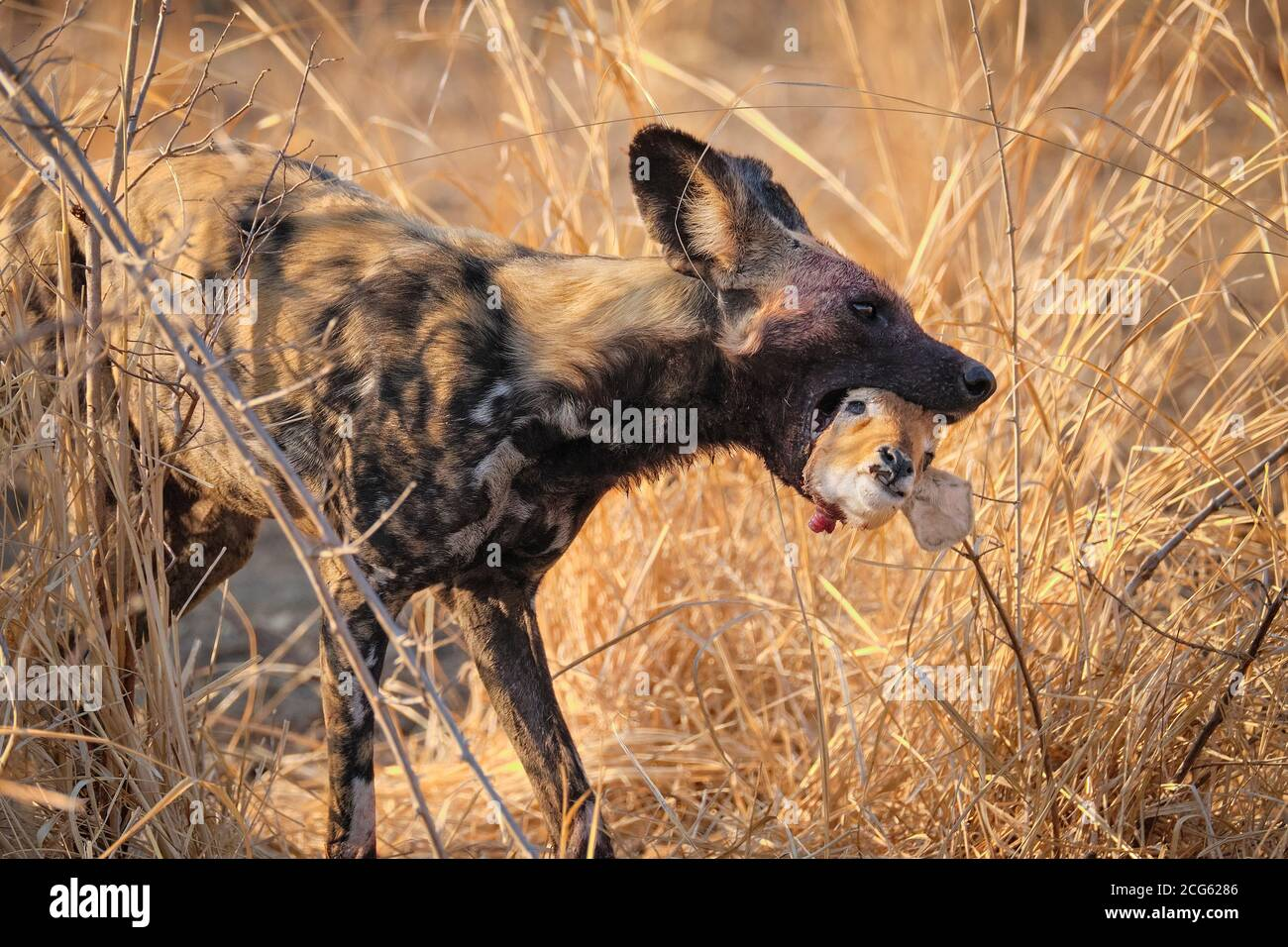 African Wild dog, Lycaon pictus, has an Impala head in its mouth. An endangered species in South Luangwa National Park, Zambia, Africa. Stock Photo