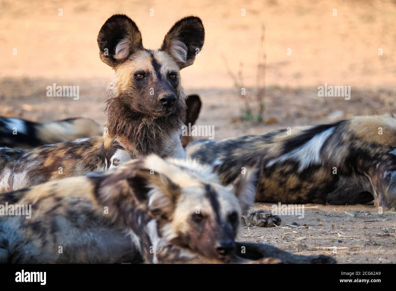 African Wild dog portrait, Lycaon pictus. The painted dog is an endangered species. South Luangwa National Park, Zambia, Africa. Stock Photo