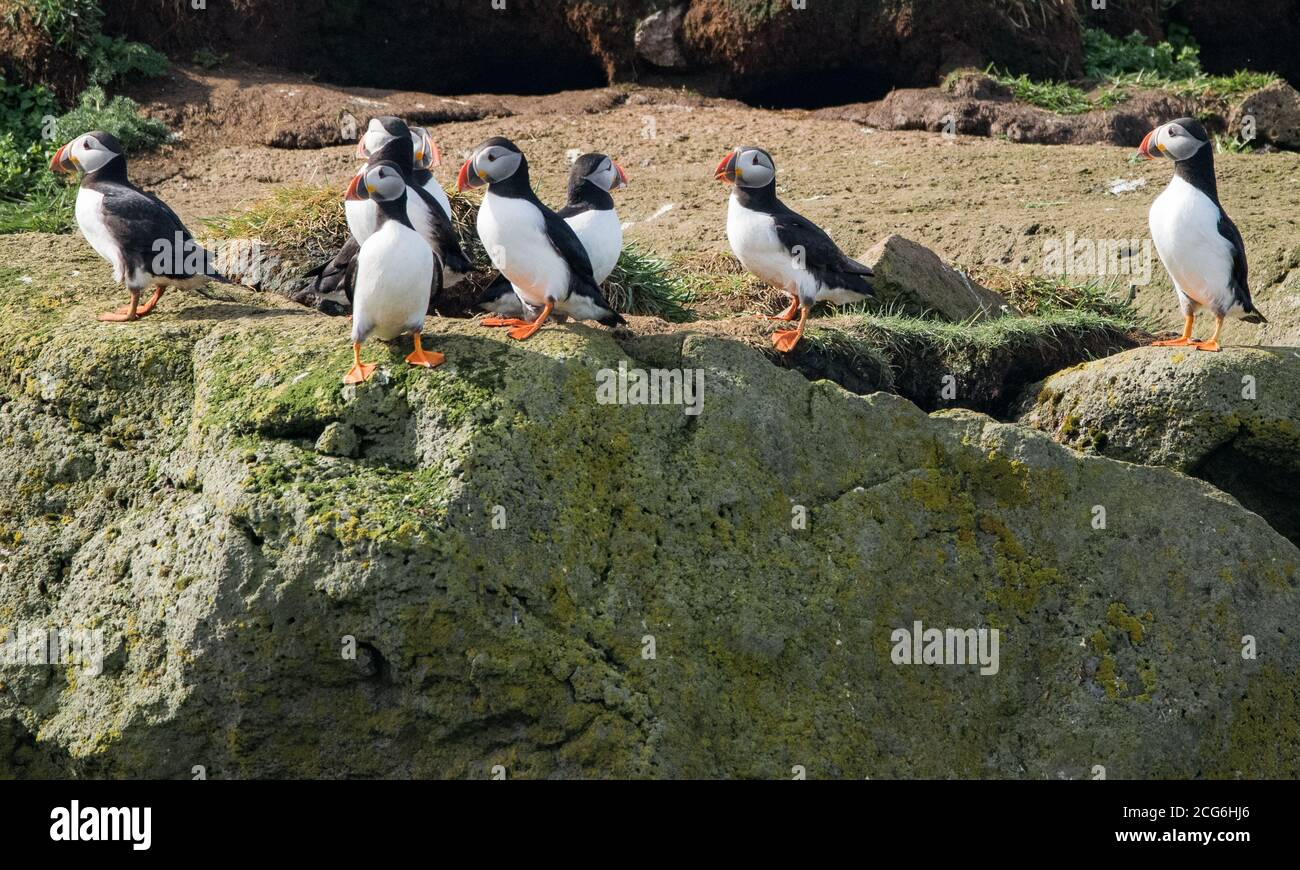 Puffins on Lundey island, Reykyavik, taking care of their eggs and nests. Stock Photo