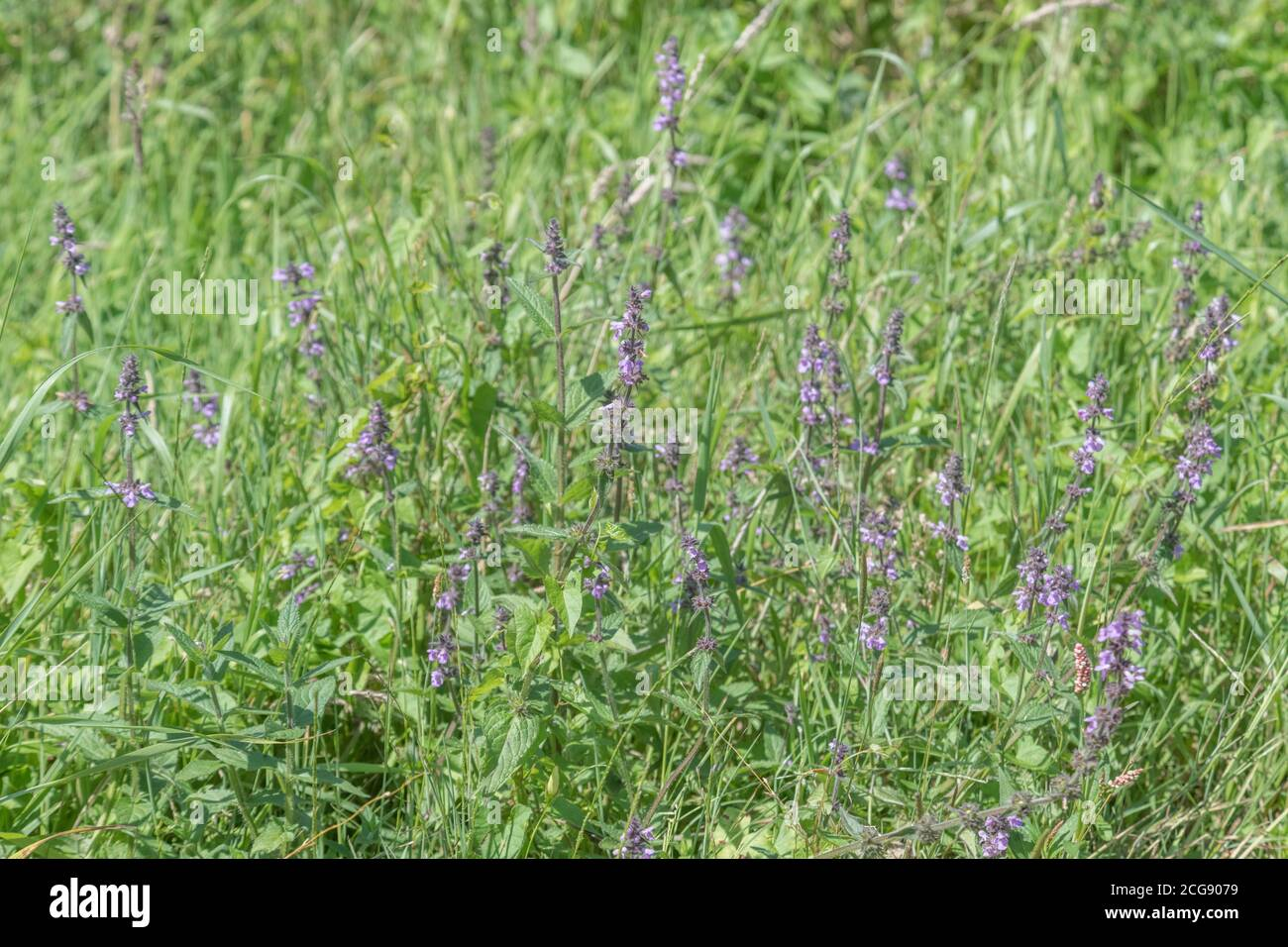 Patch of purple flowered Marsh Woundwort / Stachys palustris seen growing in damp field corner. Former medicinal plant used in herbal remedies. Stock Photo
