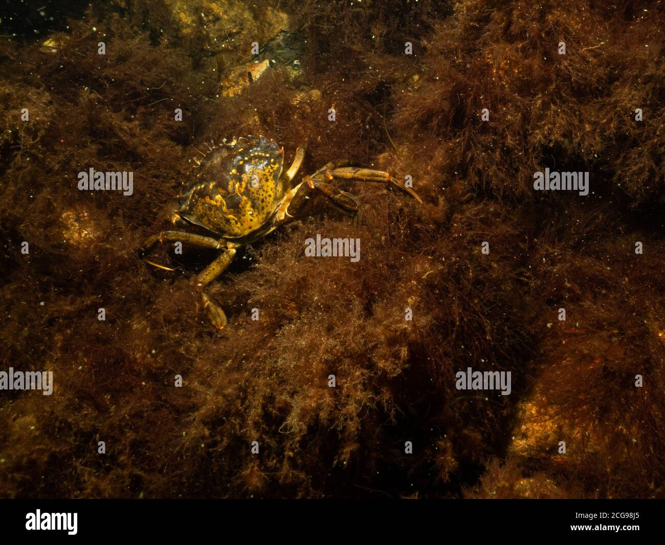 A closeup underwater picture of two crabs on a stone covered with seaweed. Picture from Oresund, Malmo in southern Sweden. Stock Photo