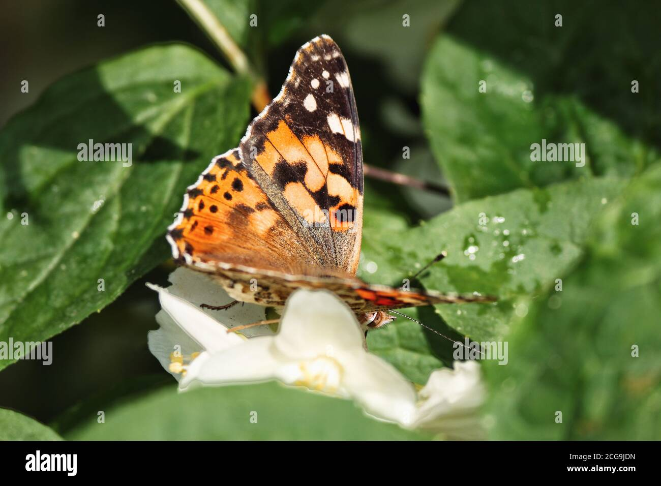 Venessa Cardui Painted Lady in Turkey Naturel Habitat Stock Photo