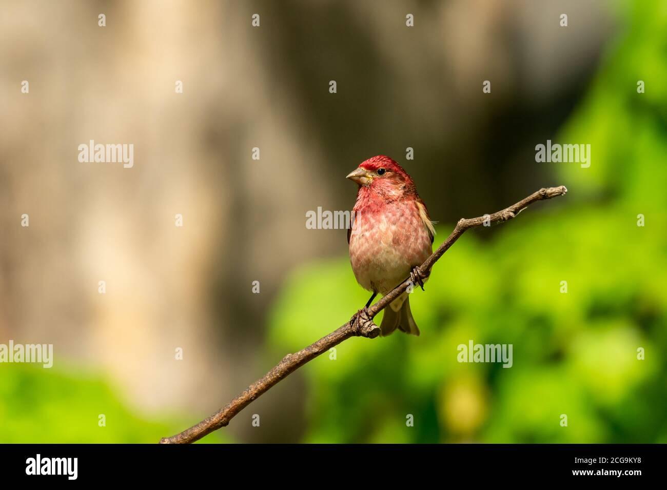 Rosy in my backyard Stock Photo