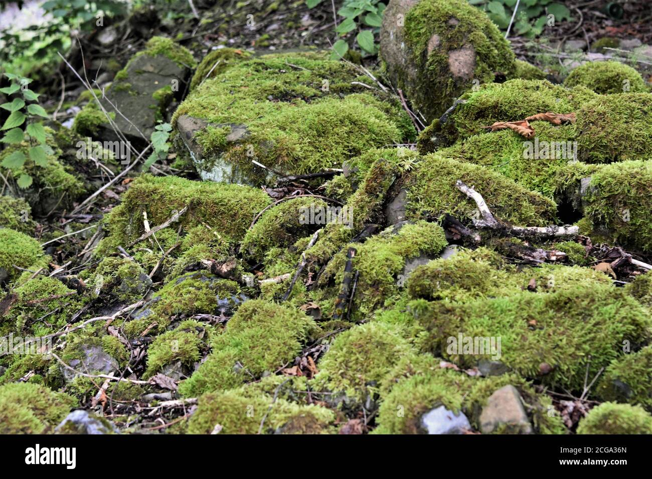 Vivid green moss growing on the small pile of stones  in the forest in Switzerland near tourist path leading to village Urdorf during summer. Stock Photo