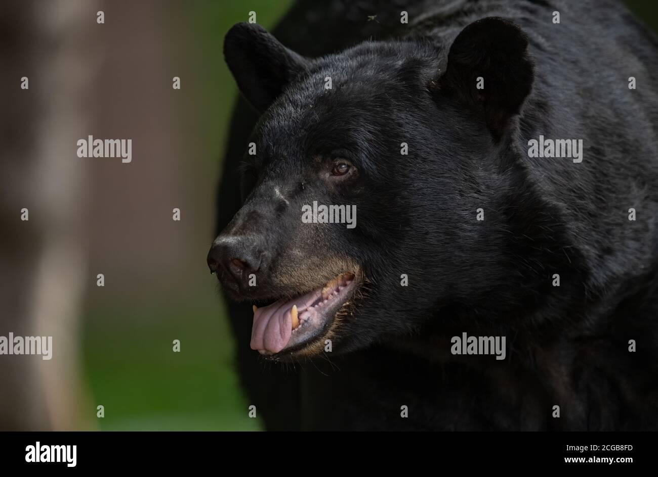 Black Bear Portrai Stock Photo