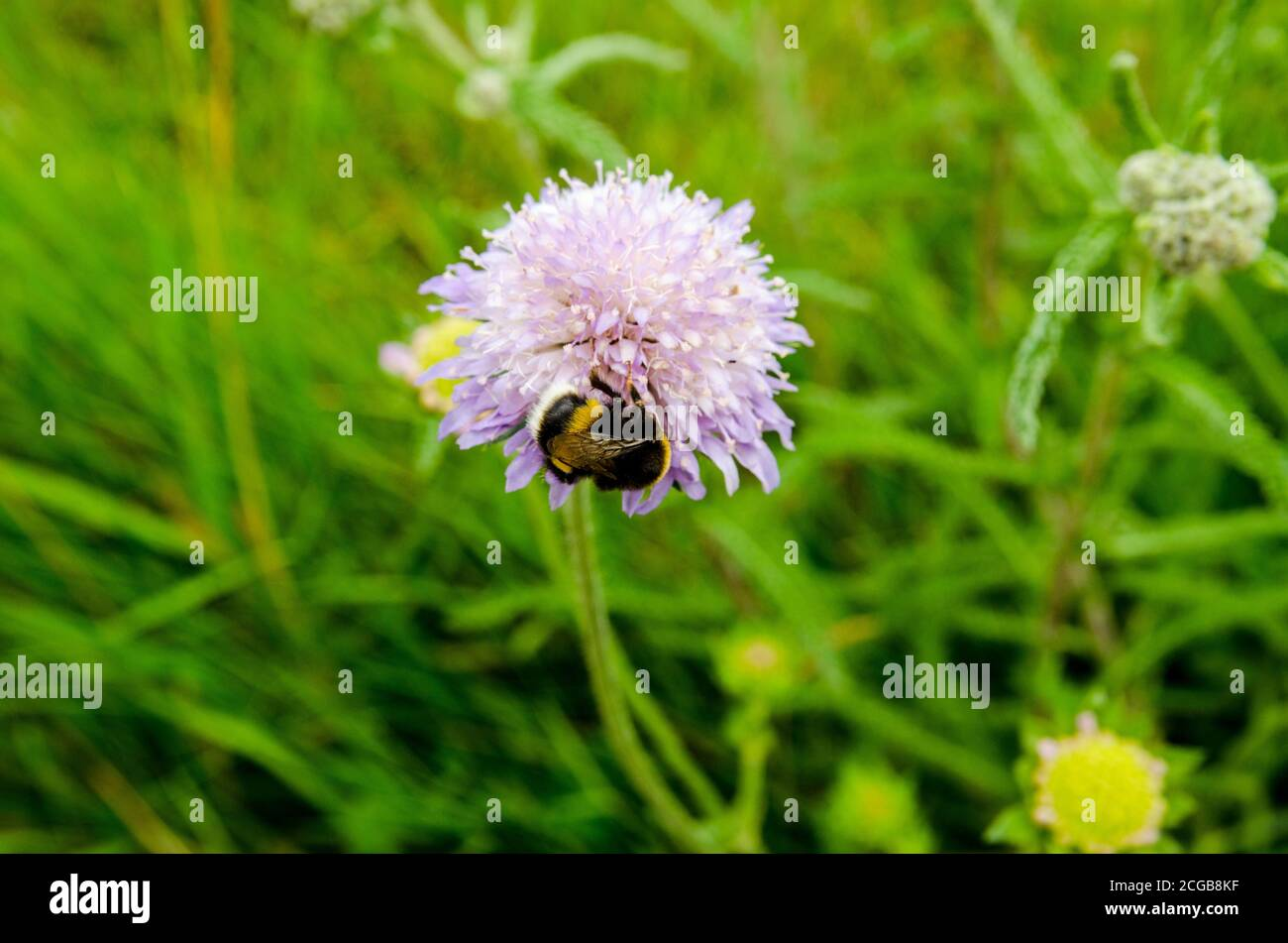 A bumble bee covered in pollen as it feeds from a wild blue scabious flower in a hedgerow in Basingstoke, Hampshire. Stock Photo