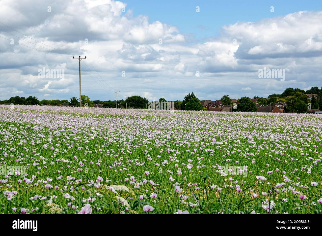 A field of cultivated opium poppies growing in Basingstoke, Hampshire. Stock Photo