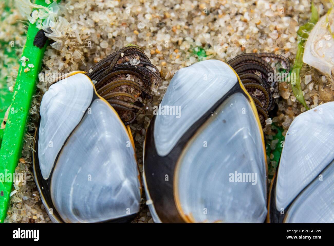 Common goose barnacles (Lepas anatifera) Stock Photo